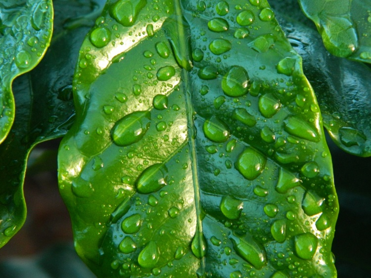 leaf-rain-coffee-water-38435